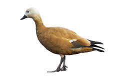 Ruddy sheldduck Stock Images