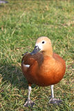 Ruddy Shelduck Stock Photography