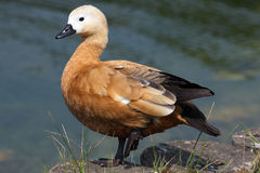 Ruddy shelduck. The picture was made in one of Moscow parks in Russia Stock Photography