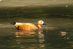 Ruddy Shelduck Stock Photo
