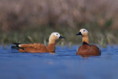 Ruddy Shelduck Royalty Free Stock Photo