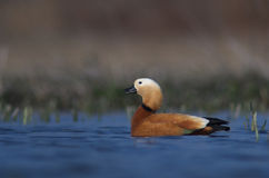 Ruddy Shelduck Royalty Free Stock Image