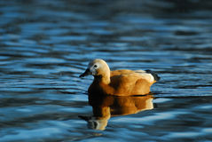 Ruddy shelduck Stock Photos