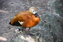 Ruddy Shelduck au bord de la terre Photos stock