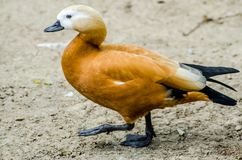 Ruddy Shelduck - Birds of Pakistan. The ruddy shelduck, known in India as the Brahminy duck, is a member of the family Anatidae. It is a distinctive waterfowl royalty free stock images