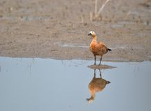 Ruddy Shelduck/Brahminy Duck Observing Royalty Free Stock Photos