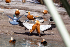 Ruddy Shelduck, Brahminy Duck, Tadorna ferruginea Royalty Free Stock Photo