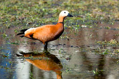 Ruddy Shelduck, Brahminy Duck, Tadorna ferruginea Royalty Free Stock Images