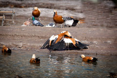 Ruddy Shelduck, Brahminy Duck, Tadorna ferruginea Stock Photography