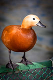 Ruddy Shelduck, Brahminy Duck, Tadorna ferruginea Stock Images