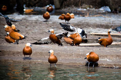 Ruddy Shelduck, Brahminy Duck, Tadorna ferruginea Royalty Free Stock Image