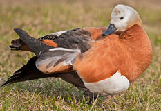 Ruddy Shelduck cleans feathers Royalty Free Stock Images