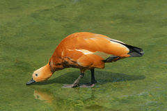 Ruddy Shelduck Royalty Free Stock Photos