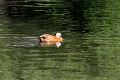 Ruddy Shelduck, conhecido como o pato de Brahminy, está em um parque Fotos de Stock