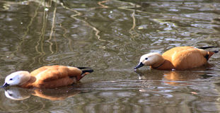 Ruddy shelduck couple Stock Photo