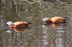 Ruddy shelduck couple Royalty Free Stock Photography