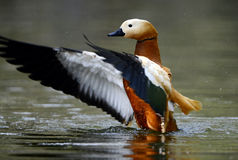 Ruddy shelduck Royalty Free Stock Photography