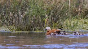 Ruddy Shelduck and Ducklings Stock Images