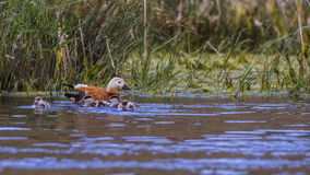 Ruddy Shelduck and Ducklings Stock Photos