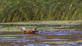 Ruddy Shelduck and Ducklings Royalty Free Stock Image