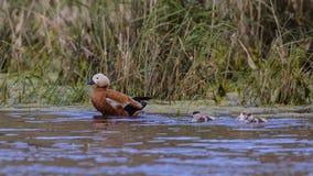 Ruddy Shelduck and Ducklings Stock Photo