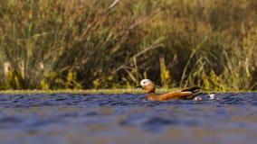 Ruddy Shelduck and Ducklings Royalty Free Stock Photos