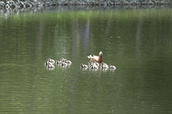 Ruddy shelduck with ducklings Royalty Free Stock Photos