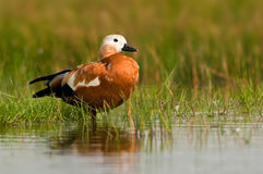 Ruddy Shelduck female Royalty Free Stock Photography