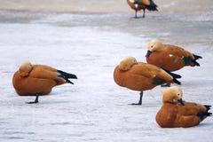 Ruddy Shelduck. A few Ruddy Shelduck are resting in snowfield. Scientific name: Tadorna ferruginea Stock Photo