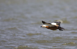 Ruddy Shelduck in Flight Royalty Free Stock Photography