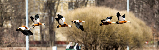 Ruddy Shelduck in fly, Tadorna ferruginea Stock Photos