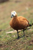 Ruddy shelduck Royalty Free Stock Images