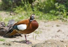 Ruddy Shelduck Hybrid Stock Photo