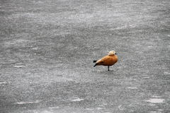 Ruddy Shelduck on an icy field Royalty Free Stock Photos
