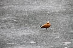 Ruddy Shelduck on an icy field. Ruddy Shelduck sitting on a frozen lake Royalty Free Stock Photos