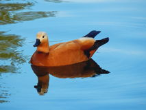 The ruddy shelduck and its reflection in the water. The ruddy shelduck in the pond and the duck's reflection in the blue water. A wild red-orange duck royalty free stock photography