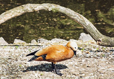 Ruddy shelduck at the lakeshore (Tadorna ferruginea). Ruddy shelduck (Tadorna ferruginea) is a member of the duck, goose and swan family Anatidae. It is in the Stock Photography