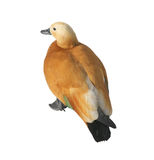 Ruddy shelduck male Royalty Free Stock Photos