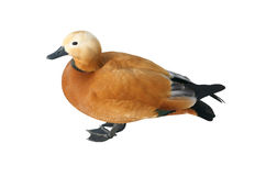 Ruddy Shelduck Male Royalty Free Stock Photo