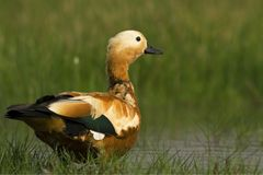 Ruddy Shelduck male in its natural habitat Stock Photography