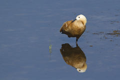 Ruddy shelduck in Nepal Royalty Free Stock Photos