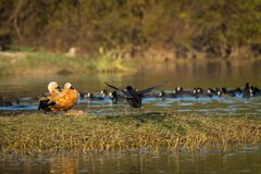 Ruddy shelduck pair closeup sitting in evening light royalty free stock photos