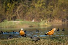 Ruddy shelduck pair closeup sitting in evening light. A grooming display by the Ruddy shelduck pair with a beautiful background and scenery settings at keoladeo stock photo