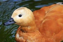 Ruddy shelduck Portrait birds, ducks,  that live in the garden Royalty Free Stock Photos