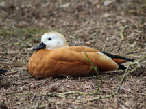Ruddy shelduck resting Royalty Free Stock Image
