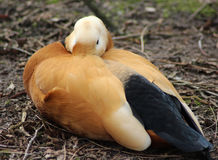 Ruddy shelduck resting Royalty Free Stock Photography