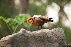 Ruddy Shelduck som är bekant som den Brahminy Duck Tadorna ferrugineaen Arkivbild