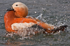 Ruddy Shelduck in a spray of water Royalty Free Stock Image