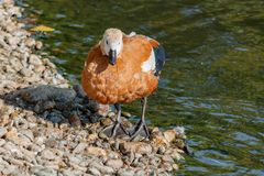 Ruddy shelduck stands in the lake shores Stock Photography