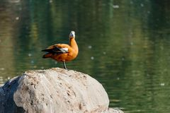 Ruddy shelduck stands on a stone in the lake shore Stock Photography
